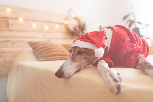 Sweater「Greyhound lying on bed wearing red pullover and Santa hat」:スマホ壁紙(17)