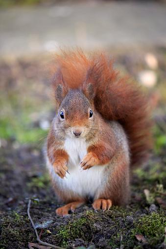 リス「Red squirrel」:スマホ壁紙(15)
