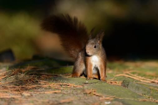 リス「Red Squirrel」:スマホ壁紙(0)
