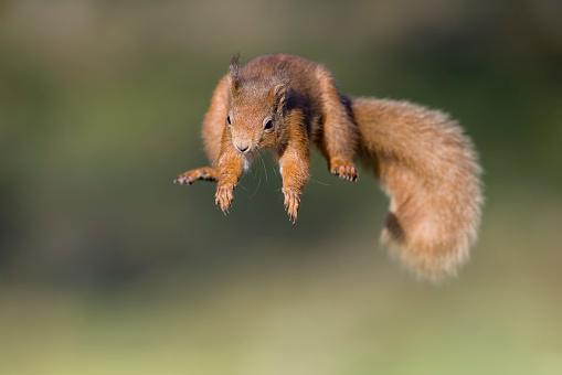 Squirrel「Red squirrel, Sciurus vulgaris, jumping」:スマホ壁紙(13)