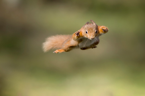 Squirrel「Red squirrel, Sciurus vulgaris, jumping」:スマホ壁紙(3)