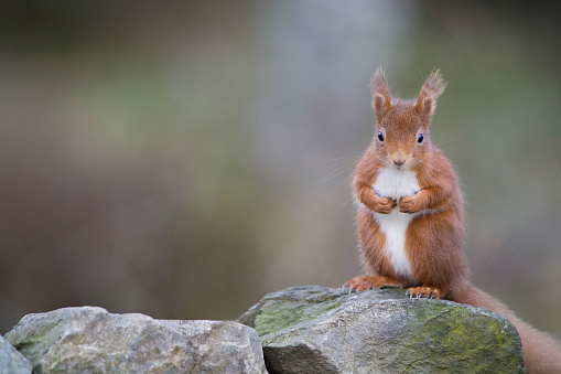 リス「Red squirrel, Sciurus vulgaris, sitting on stone」:スマホ壁紙(1)