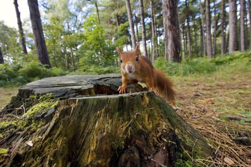 Squirrel「Red Squirrel, Sciurus vulgaris, on tree stump on forest floor, Formby Point, Lancashire, UK」:スマホ壁紙(0)