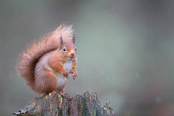 Red squirrel Sciurus vulgaris, sitting in forest, Cairngorms National Park, Scotland, February:スマホ壁紙(壁紙.com)