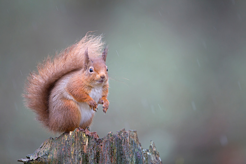 リス「Red squirrel Sciurus vulgaris, sitting in forest, Cairngorms National Park, Scotland, February」:スマホ壁紙(15)