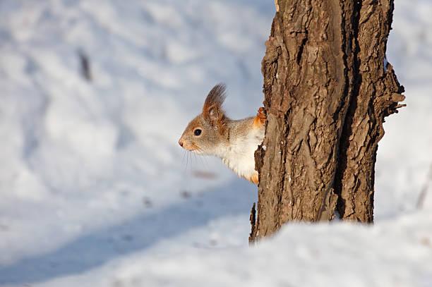 Red Squirrel:スマホ壁紙(壁紙.com)