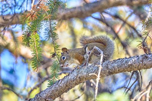 Squirrel「Red squirrels on tree branch,Banff」:スマホ壁紙(3)