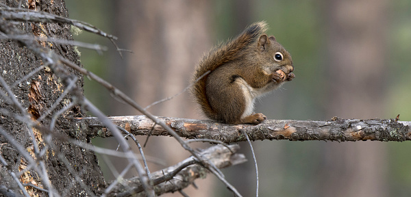 Squirrel「Red Squirrel sitting on branch eating a pine cone.」:スマホ壁紙(10)