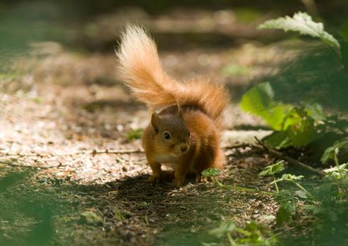 Tree Squirrel「Red Squirrel (Sciurus vulgaris leucourus)」:スマホ壁紙(10)