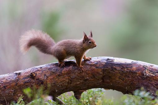 リス「Red squirrel on tree trunk」:スマホ壁紙(11)