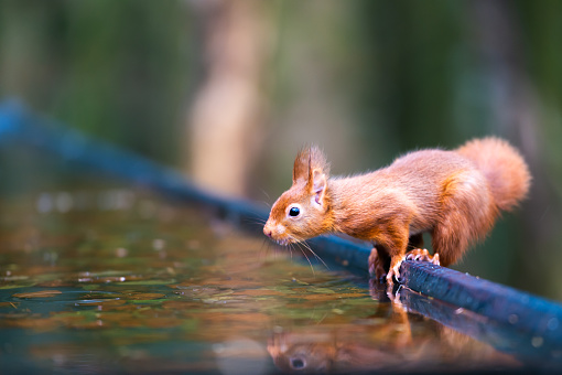 Squirrel「Red squirrel beside water in a woodland setting」:スマホ壁紙(3)