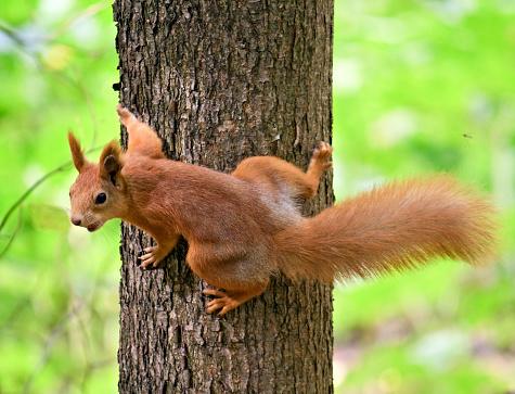 Squirrel「Red Squirrel」:スマホ壁紙(8)