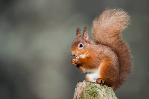 Red squirrel eating:スマホ壁紙(壁紙.com)