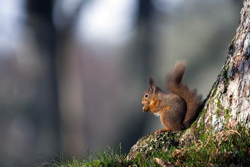 リス「Red squirrel eating」:スマホ壁紙(12)