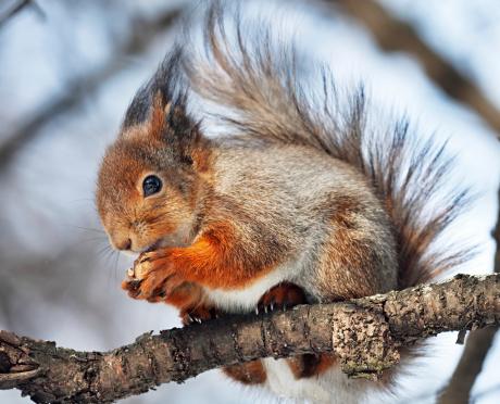 Squirrel「Red Squirrel」:スマホ壁紙(6)