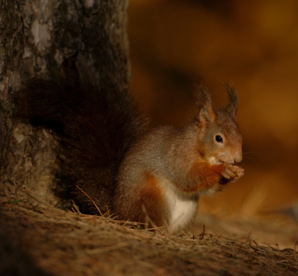 Tree Squirrel「Red squirrel (Sciurus vulgaris) sitting by tree, close-up」:スマホ壁紙(17)