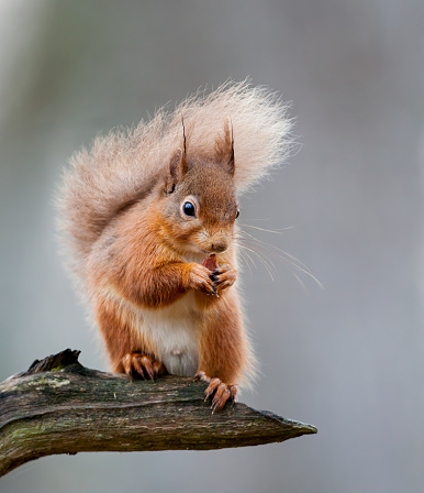 Eurasian Red Squirrel「Red Squirrel on a Branch」:スマホ壁紙(3)