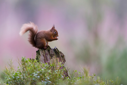 Squirrel「Red squirrel on dead wood」:スマホ壁紙(13)