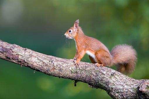 リス「Red squirrel on a tree trunk」:スマホ壁紙(4)