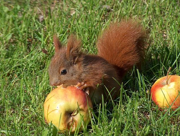 アカリス食事は、リンゴのクローズアップ:スマホ壁紙(壁紙.com)