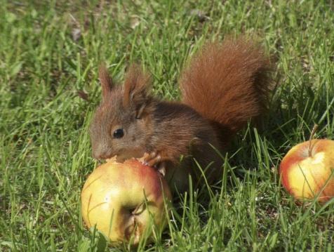 リス「アカリス食事は、リンゴのクローズアップ」:スマホ壁紙(14)