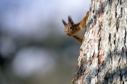 Squirrel「Red squirrel peeking behind tree trunk」:スマホ壁紙(19)