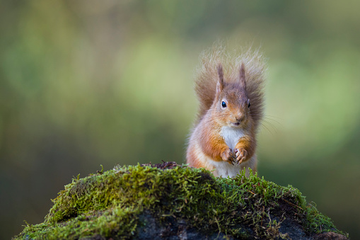Animals In The Wild「Red squirrel」:スマホ壁紙(5)