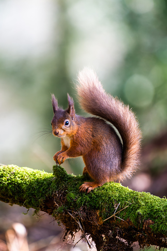 Squirrel「Red squirrel sitting on a moss covered branch holding a hazelnut in Scottish woodland」:スマホ壁紙(14)