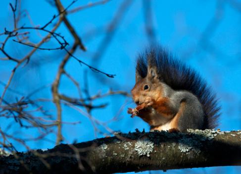 Squirrel「Red squirrel (Sciurus vulgaris) eating cone on tree」:スマホ壁紙(12)