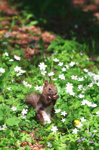 リス「Red Squirrel and Anemone flaccida, Hokkaido Prefecture, Japan」:スマホ壁紙(5)