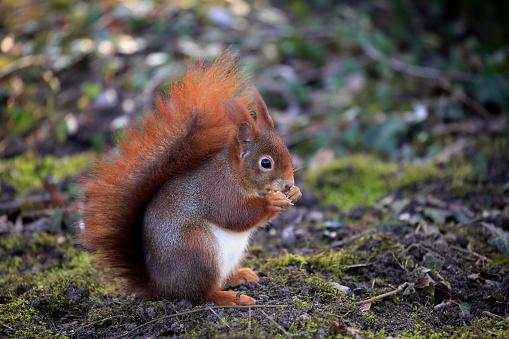 Tree Squirrel「Red squirrel, (Sciurus vulgaris)」:スマホ壁紙(18)