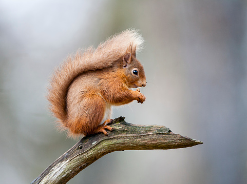 Eurasian Red Squirrel「Red Squirrel」:スマホ壁紙(0)