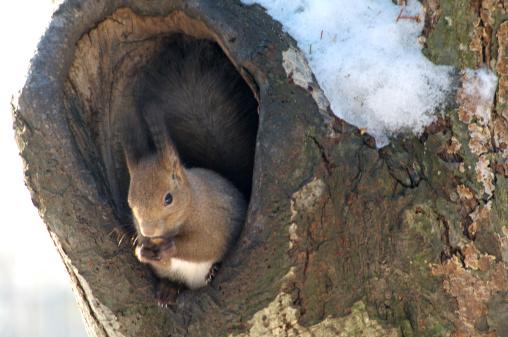 Squirrel「Red Squirrel」:スマホ壁紙(4)