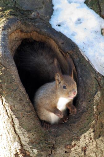 リス「Red Squirrel」:スマホ壁紙(5)