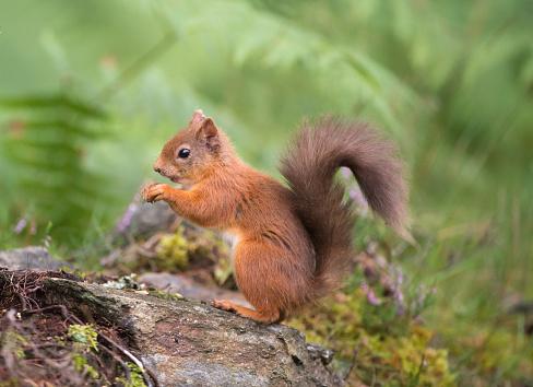 Squirrel「Red Squirrel eating in woodland」:スマホ壁紙(18)