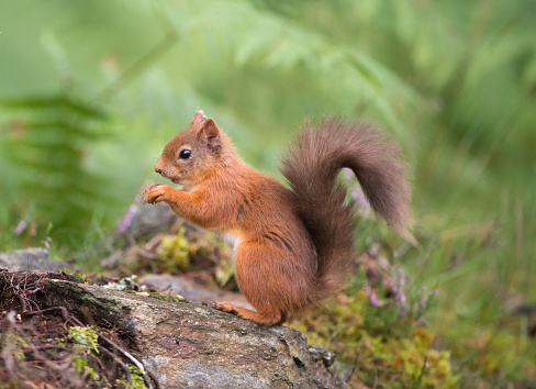Squirrel「Red Squirrel eating in woodland」:スマホ壁紙(10)