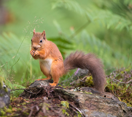 Squirrel「Red Squirrel eating in woodland」:スマホ壁紙(2)
