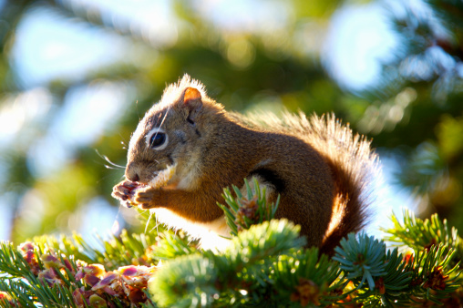 Tree Squirrel「Red Squirrel (Tamiasciurus hudsonicus) eating pinecone on tree」:スマホ壁紙(8)