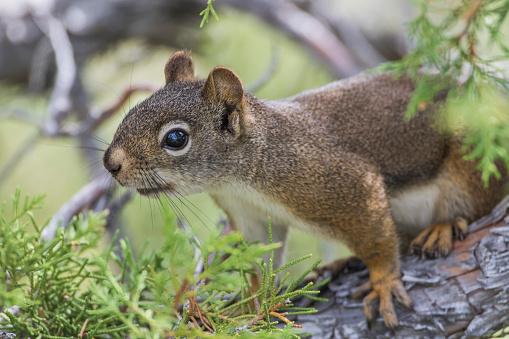 Squirrel「Red Squirrel (Tamiasciurus Hudsonicus) sitting on Juniper tree, Sublette County, Wyoming, USA」:スマホ壁紙(2)