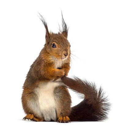 Squirrel「Red squirrel in front of a white background」:スマホ壁紙(15)