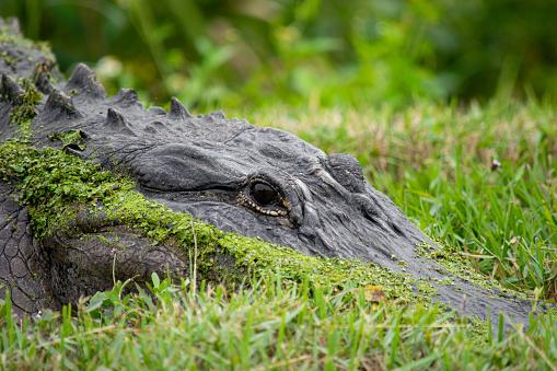 Ocala National Forest「Alligator Eyes in the Grass」:スマホ壁紙(4)