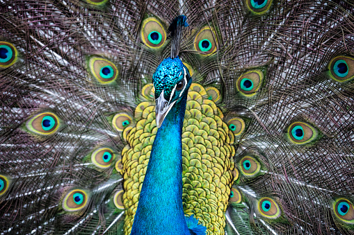 Beak「Indian Peacock (Pavo cristatus) with fanned out tail in Inn at Middleton Place, Charleston, South Carolina, USA」:スマホ壁紙(11)