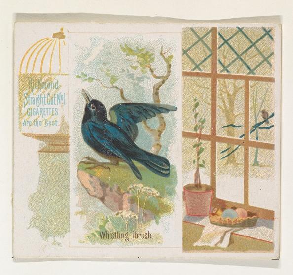 Songbird「Whistling Thrush」:写真・画像(16)[壁紙.com]