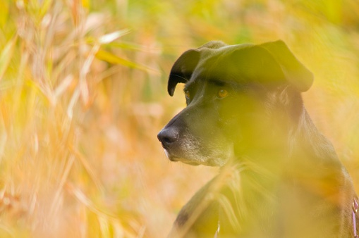 Animals Hunting「Black lab in autumn tall grass」:スマホ壁紙(7)