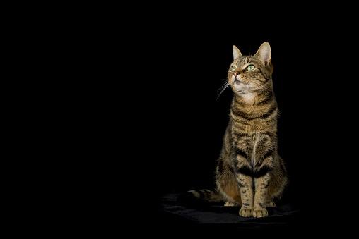Green Eyes「Tabby cat in front of black bckground」:スマホ壁紙(5)