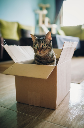 Looking Away「Tabby cat inside cardboard box」:スマホ壁紙(13)