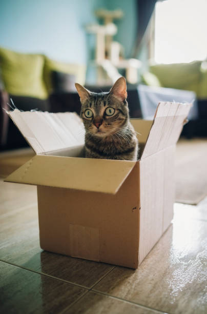 Tabby cat inside cardboard box:スマホ壁紙(壁紙.com)