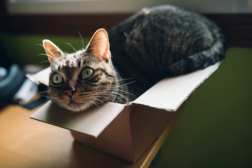 Crouching「Tabby cat inside a small carboard box at home」:スマホ壁紙(16)