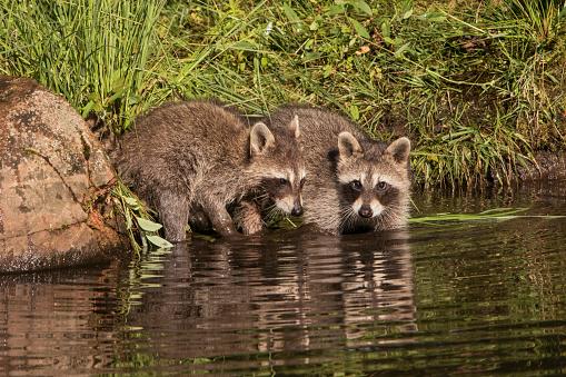 Raccoon「Pair of young Raccoons, Procyon lotor, Minnesota, USA」:スマホ壁紙(6)