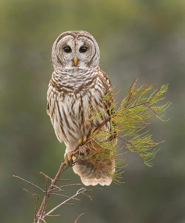 カメラ目線「Barred Owl」:スマホ壁紙(15)